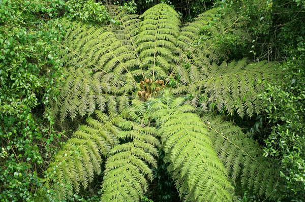 Albero felce foresta pluviale immagine Foto d'archivio © clearviewstock