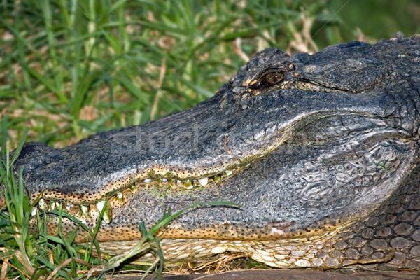 Jacaré verde dentes foto animal quadro Foto stock © clearviewstock