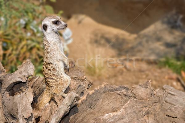 Quadro segurança pormenor olhando animal veja Foto stock © clearviewstock
