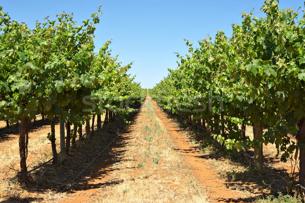 grape vines in a row Stock photo © clearviewstock