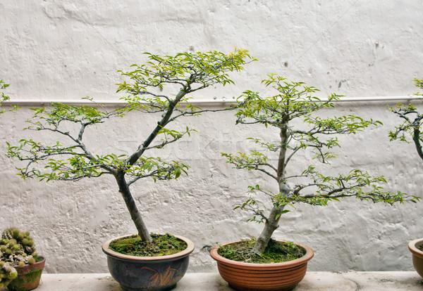 бонсай деревья небольшой стены саду зеленый Сток-фото © clearviewstock