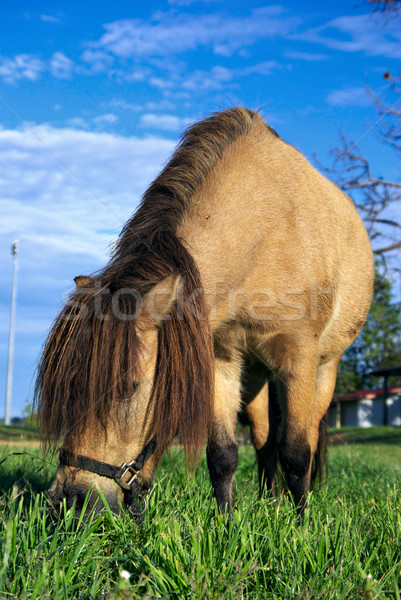 Stock photo: mini horse eating grass