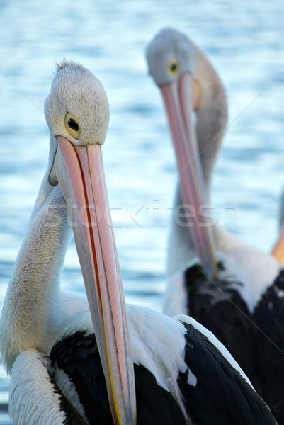 pelicans Stock photo © clearviewstock