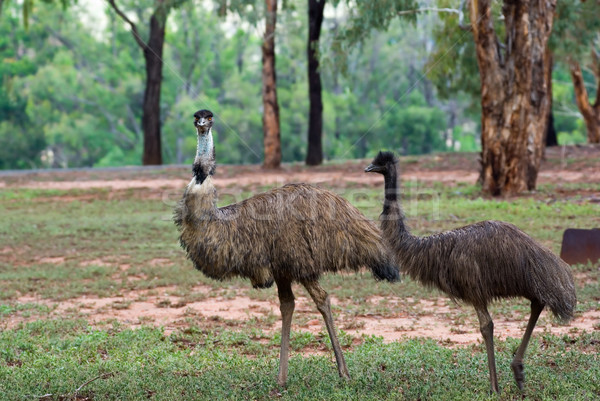 two emus Stock photo © clearviewstock