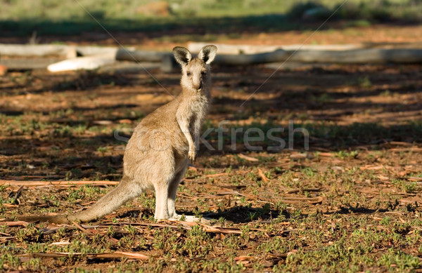 Kenguru néz kamera kicsi keleti szürke Stock fotó © clearviewstock