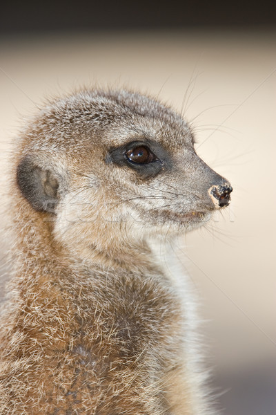curious meerkat Stock photo © clearviewstock