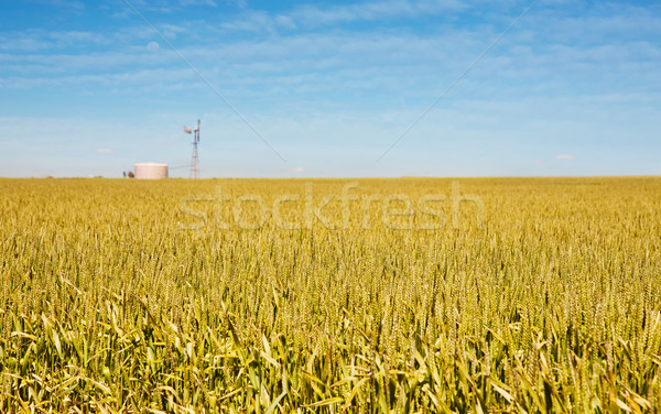 Stock photo: golden wheat and windmill