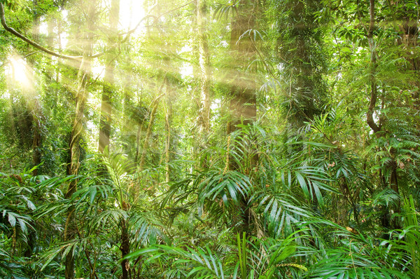 sunlight in dorrigo world heritage rainforest Stock photo © clearviewstock