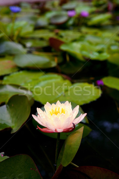 Agua Lily estanque hermosa jardín naturaleza Foto stock © clearviewstock
