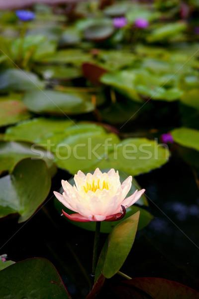 Water lelie vijver mooie tuin natuur Stockfoto © clearviewstock