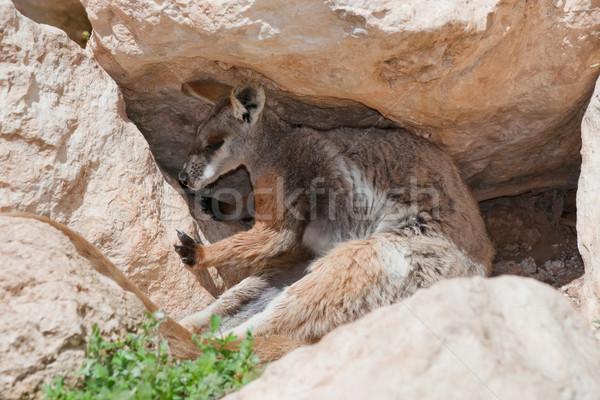 Citromsárga kő veszélyeztetett természet állat kenguru Stock fotó © clearviewstock