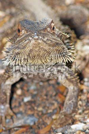lizard looking into camera Stock photo © clearviewstock