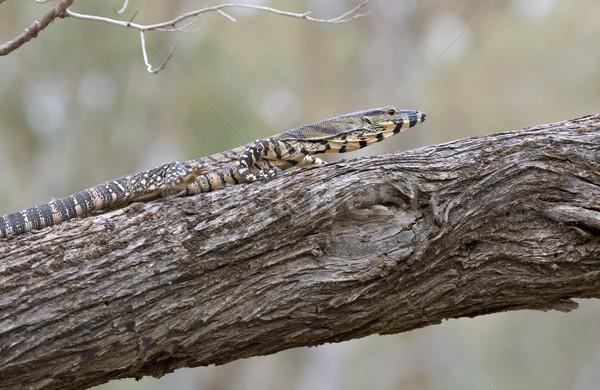 goanna walking along branch Stock photo © clearviewstock