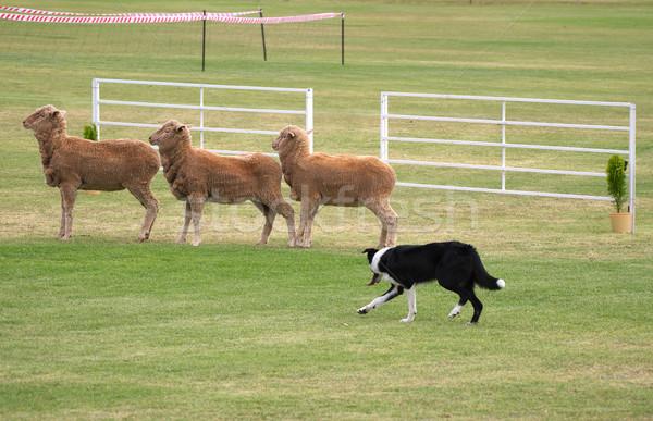 Ovejas perro Foto hasta hierba naturaleza Foto stock © clearviewstock