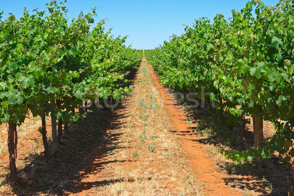grape vines Stock photo © clearviewstock