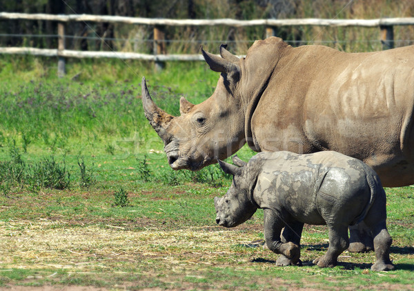 Stock photo: mother and baby rhino