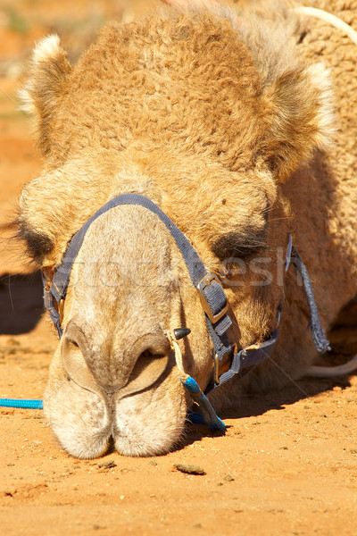 sulking camel Stock photo © clearviewstock