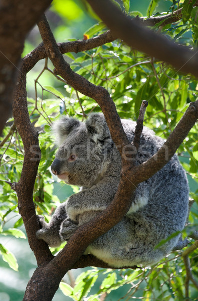 australian koala in a tree Stock photo © clearviewstock