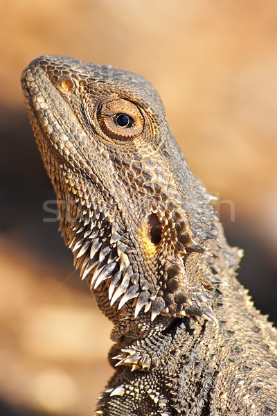 lizard getting warm Stock photo © clearviewstock