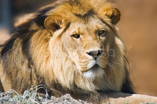 Сток-фото: лев · камеры · природы · фото · животного