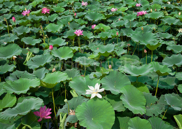 water lillies Stock photo © clearviewstock
