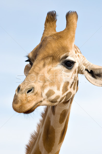 Girafa olho nível foto animal Foto stock © clearviewstock