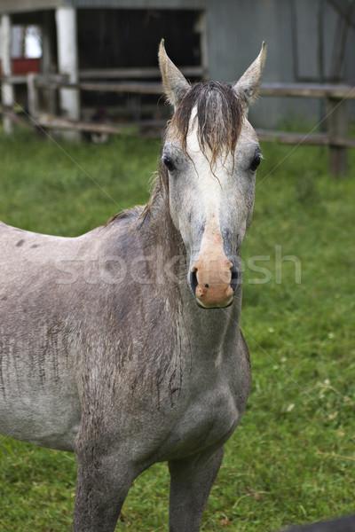 Mokro konia na zewnątrz deszcz charakter Zdjęcia stock © clearviewstock