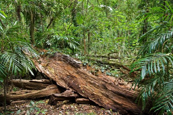 Regenwoud groot afbeelding boom regen park Stockfoto © clearviewstock
