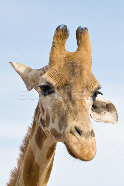 brooding giraffe Stock photo © clearviewstock