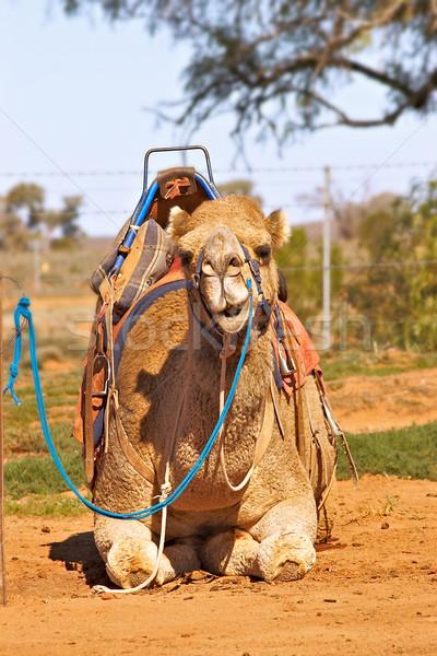 Foto stock: Camelo · sessão · sela · navios · deserto · natureza