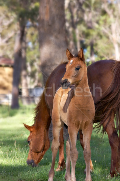 horse and foal Stock photo © clearviewstock