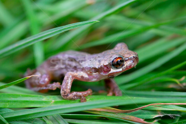 little red eyed frog in grass Stock photo © clearviewstock