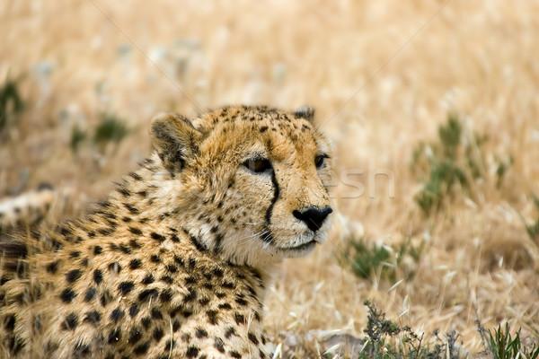 cheetah Stock photo © clearviewstock
