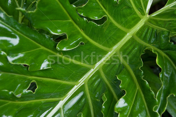Stock photo: green palm leaf