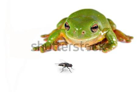 green tree frog on white Stock photo © clearviewstock