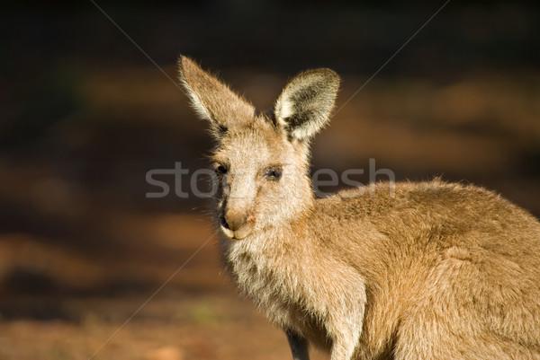 eastern gray kangaroo  Stock photo © clearviewstock