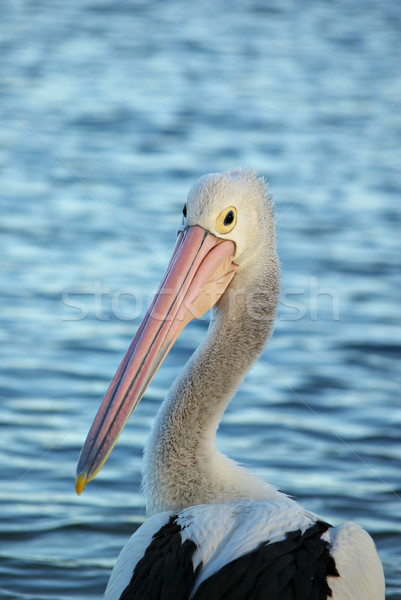 pelican Stock photo © clearviewstock