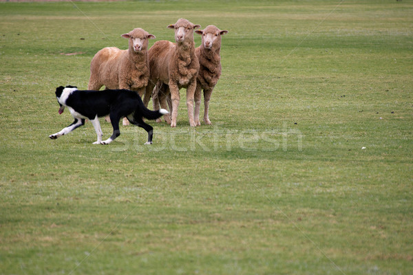 sheepdog trials Stock photo © clearviewstock