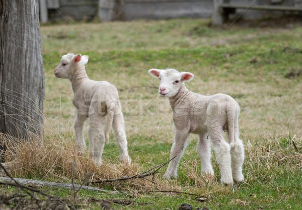 Dois fazenda ovelha jovem animal agricultura Foto stock © clearviewstock