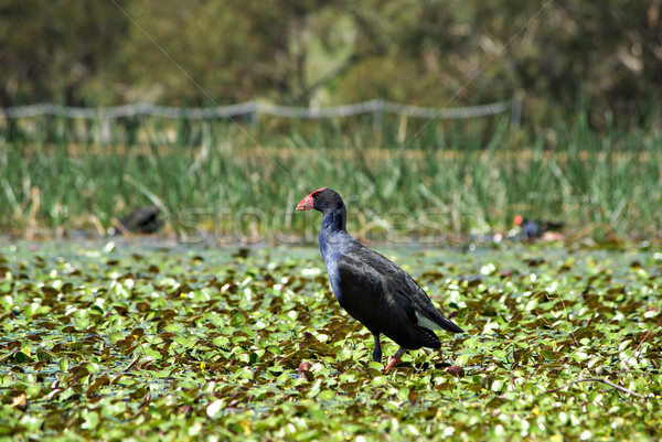 water hen in wetlands Stock photo © clearviewstock