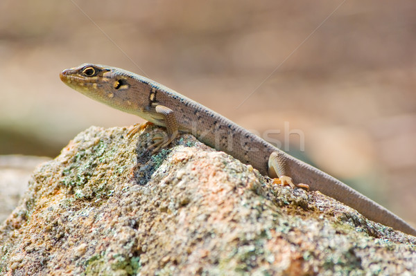 skink Stock photo © clearviewstock