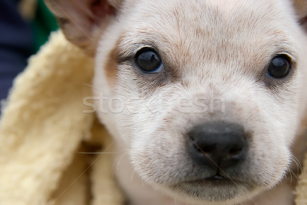 foxy Stock photo © clearviewstock
