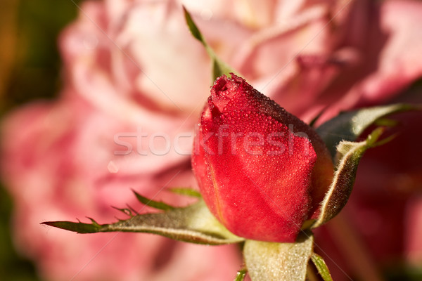 start and finish rosebud in front of older open rose Stock photo © clearviewstock