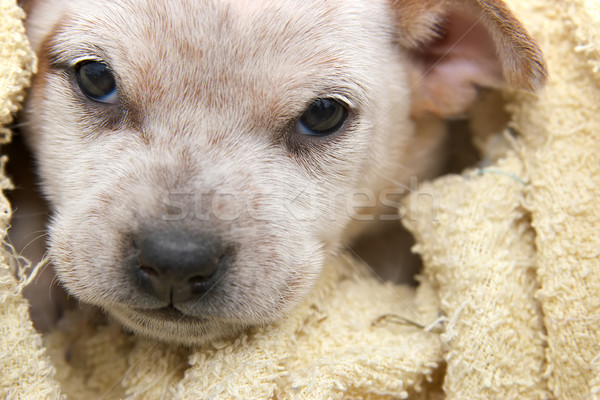 fox terrier pup wrapped in a towel Stock photo © clearviewstock