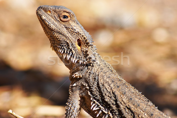 lizard getting warm Stock photo © clearviewstock