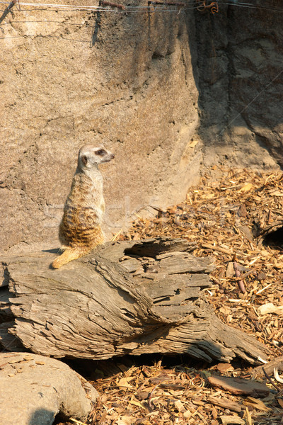 meerkat Stock photo © clearviewstock