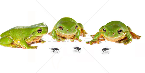 three frogs and flies Stock photo © clearviewstock