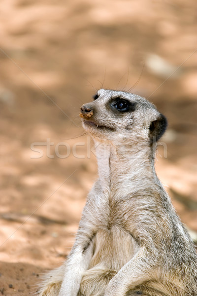 a meerkat sitting down Stock photo © clearviewstock