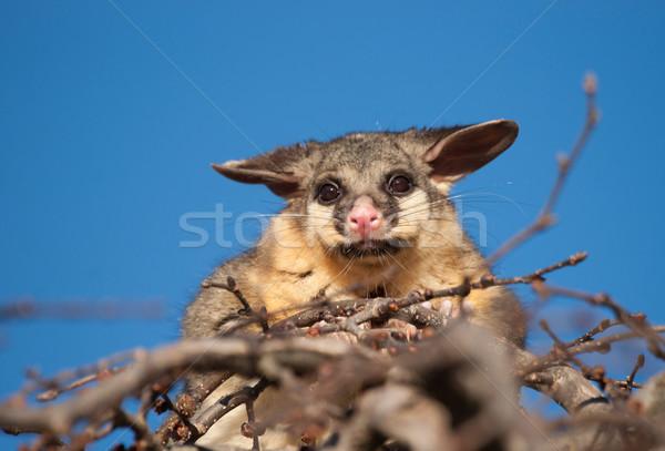 Fırçalamak kuyruk ağaç avustralya üst hayvan Stok fotoğraf © clearviewstock