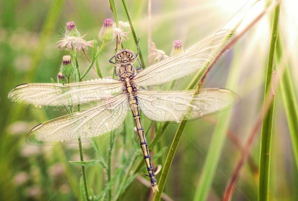 小さな トンボ 美しい 画像 新しく 自然 ストックフォト © clearviewstock